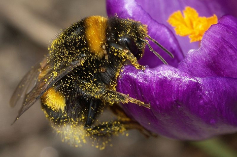 Bees Can Sense the Electric Fields of Flowers | Neurobiology | Scoop.it