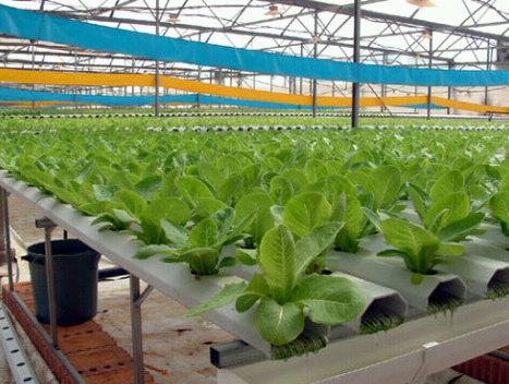 Hidroponia y Cultivos Hidroponicos: Lechuga hidropónica ... | Cultivos Hidropónicos | Scoop.it
