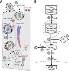 Viral RNA Degradation and Diffusion Act as a Bottleneck for the Influenza A Virus Infection Efficiency | Viruses and Bioinformatics from Virology.uvic.ca | Scoop.it