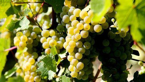 Millésime 2016 : une baisse de 12% attendue sur les volumes | Le vin quotidien | Scoop.it