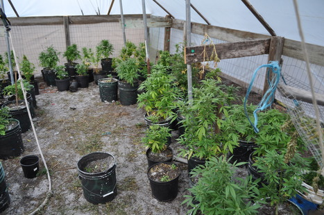 K-9 finds 79 marijuana plants in tent near New Smyrna Beach, Florida | The Billy Pulpit | Scoop.it