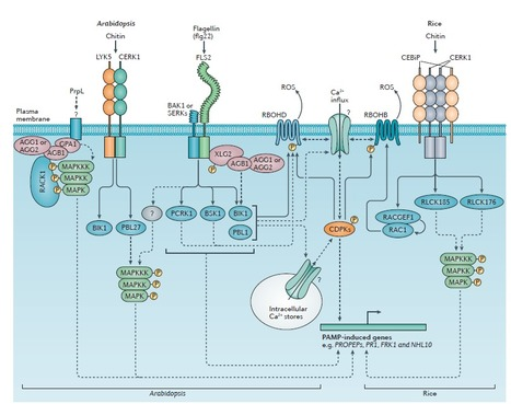 Regulation of pattern recognition receptor signalling in plants : Nature Reviews Immunology : Nature Research   plant-pathogen interaction at the molecular level   Scoop.it