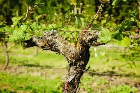 Taste Oregon's old-vine wines right now | Pinot Post | Scoop.it