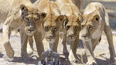 Pitting a Remote Controlled Nikon Against a Curious Pride of Lions | Digital-News on Scoop.it today | Scoop.it