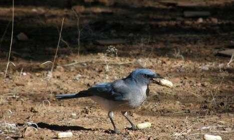 Birds 'weigh' peanuts and choose heavier ones | Agua | Scoop.it