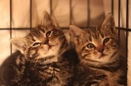 Queens Our City Radio Featured Cat For Adoption – Hercules & Ulysses (Cerebellar Hypoplasia, Adopt Together) (New York) | Queens Our City Radio Featured Cat For Adoption | Scoop.it
