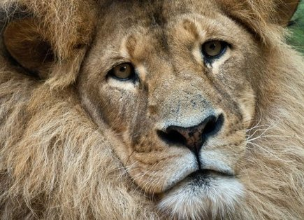 La Zambie interdit la chasse au lion et au léopard - Afrique - Actualités - StarAfrica.com   Tourisme et chasse   Scoop.it