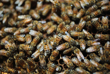 A reason millions of bees are dying | Geographic and Sustainability Literacy | Scoop.it