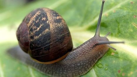 Snails use 'two brain cells' to make decisions, Sussex University discovers - BBC News | New Science | Scoop.it