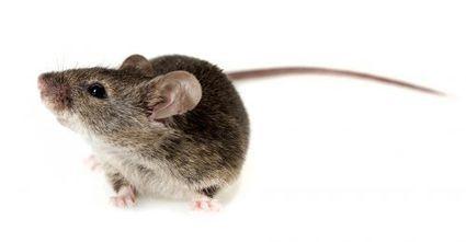 Des souris recouvrent la vue grâce à des neurones qui repoussent | Le pouvoir du transhumanisme | Scoop.it