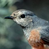 Migrating Songbirds Make Smart Use of Currents : DNews | Save the Songbirds | Scoop.it