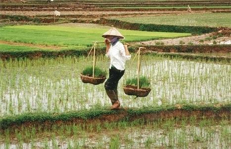 Organic Rice Production In Vietnam | Vietnam: Inclusive & Sustainable Agriculture | Scoop.it