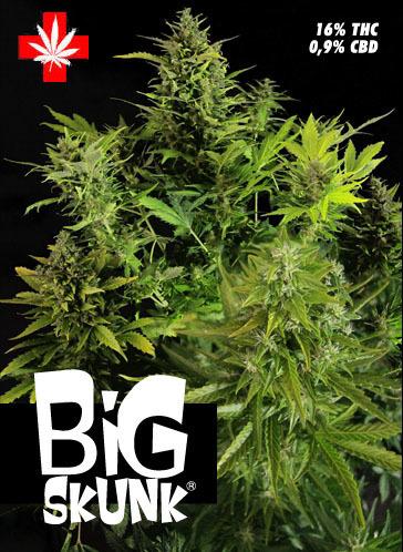 BIG SKUNK (3 semillas femenizadas) BIG SKUNK (3 semillas femenizadas) SEMILLAS FEMINIZADAS - SEMILLAS MARIHUANA [] - €20.00 : THCBarcelona.com, Av. República Argentina 38 - 934178904 - De Lun. a Fr... | thc barcelona | Scoop.it