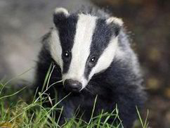 5000 badgers die yet TB evidence goes up in flames - Express.co.uk   Gardening Galore   Scoop.it