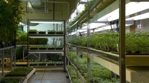 Federal red tape ties up marijuana research | Sustain Our Earth | Scoop.it
