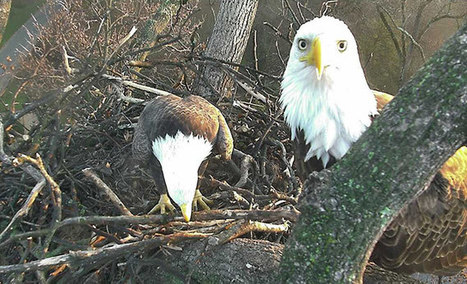 American Eagle Foundation Bald Eagle Nest Cam | DisruptiveDC | Scoop.it
