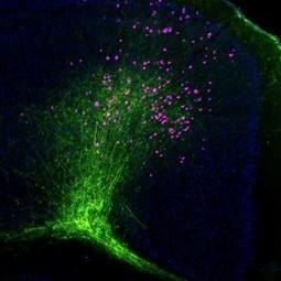Internal Logic: Whole-Brain Atlas of Neural Networks Reveals Eight Distinct Subnetworks in Mouse Cerebral Cortex | Press Room | USC | sciences humaines - sciences cognitives - cerveau - apprentissage - enseignement | Scoop.it