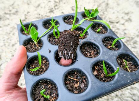 Semis en contenants | pour mon jardin | Scoop.it