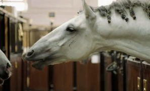 Horsemanship In History - The Spanish Riding School | Ultimate Horsemanship | Scoop.it