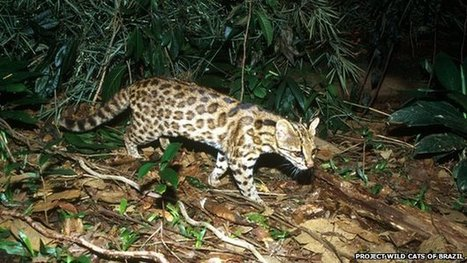 New species of wild cat in Brazil | Feline Health and News - manhattancats.com | Scoop.it