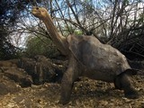 Lonesome George Not the Last of His Kind, After All? | this curious life | Scoop.it