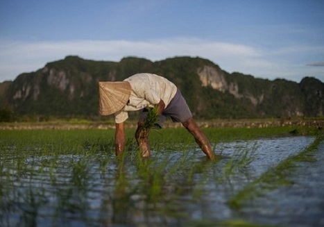 Added gene can make rice more climate-friendly   Tim Radford   Climate News Network   plant research   Scoop.it