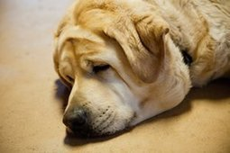 Survival of the fattest: how greedy labradors convinced us they were clever - The Guardian | MRC research in the news | Scoop.it