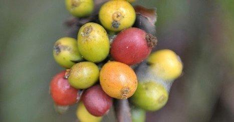 Les producteurs africains de café sont sur des marchés de niche | PRODUITS AGRICOLES ET MARCHES - AGRICULTURAL PRODUCTS AND MARKETS | Scoop.it