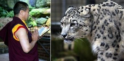 Tibetan monks and endangered cats   Tibetan Spiritual Jewelry   Scoop.it