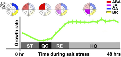 Plant Cell: A Spatio-Temporal Understanding of Growth Regulation during the Salt Stress Response in Arabidopsis | Plant Gravitropism | Scoop.it