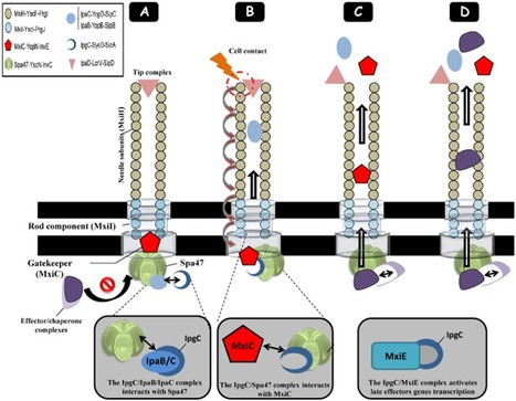 Mol. Mic.: Interplay between predicted inner-rod and gatekeeper in controlling substrate specificity of the type III secretion system (2013) | Effectors and Plant Immunity | Scoop.it