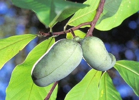B.C. researchers building a better paw paw plant | Agricultural Biodiversity | Scoop.it