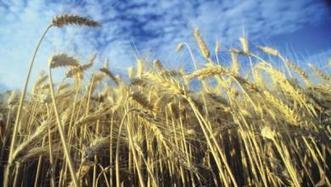 USDA scientists, cooperators sequence the wheat genome in breakthrough for global food security | Seed content from Farm Industry News | A Better Food System | Scoop.it