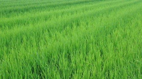 Effect of variety, spacing and number of seedlings per hill on the yield potentials of transplant aman rice | International Journal of Biomolecules and Biomedicine (IJBB) | Scoop.it
