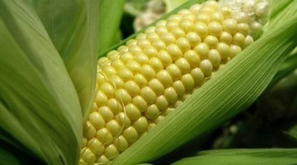 Bloqueo de Alemania a importaciones de maíz chileno enciende alarmas por presencia de transgénicos   Mens sana in corpore sano   Scoop.it