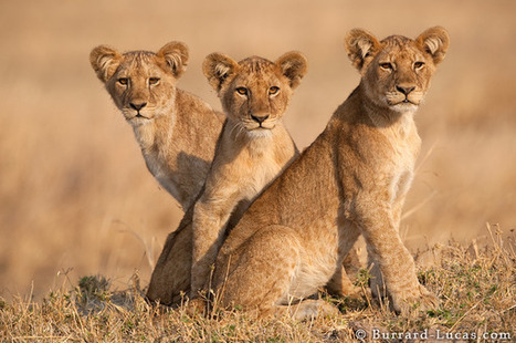 Male Lions - Photos Pictures Images | Resilient and Adaptation. | Scoop.it