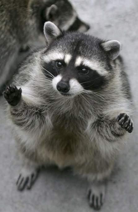 Peligro: mapache suelto | Biología de Cosas de Ciencias | Scoop.it