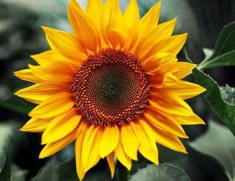 Sunflower (Helianthus): The National Flower of Ukraine   ProBloggerTricks   Scoop.it