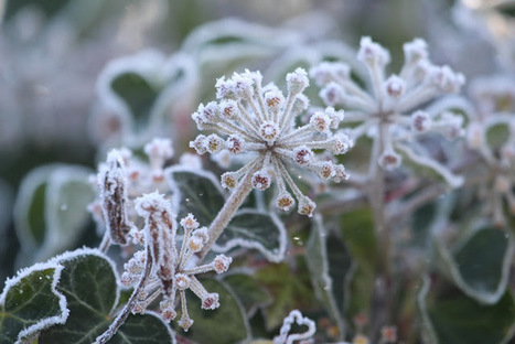 gardening in western washington: A cold start to a new year... | Rose gardening for everyone | Scoop.it