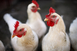 BBSRC FUNDED: Domesticated hens not friendly, says RVC research | BIOSCIENCE NEWS | Scoop.it