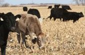 Despite higher prices, no surge in cattle thefts - SFGate   Beef Facts   Scoop.it