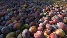 Le coup de mou du pruneau d'Agen face à la concurrence chilienne et californienne   Agriculture en Dordogne   Scoop.it