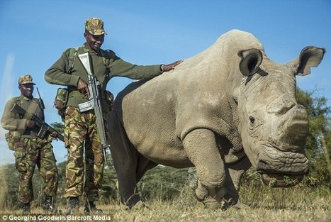 The dying rhino that will take a species with him to the grave | Help save our Rhino | Scoop.it