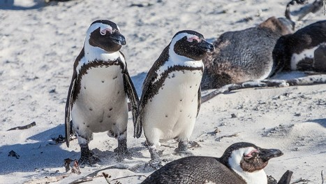 Thousands of penguins die after iceberg traps colony   Vloasis sci-tech   Scoop.it