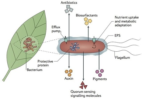 Nature Reviews Microbiology: Microbial life in the phyllosphere (2012) | Plants and Microbes | Scoop.it
