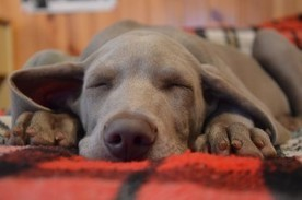 Do Dogs Dream? | Natural Pet Care | Scoop.it