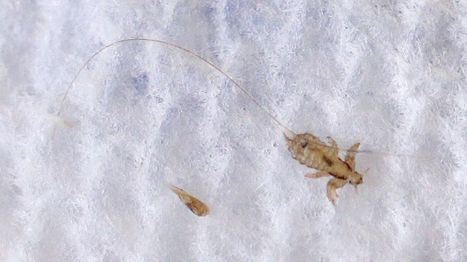 Arizona among states with 'super lice' — resistant to OTC treatments | CALS in the News | Scoop.it