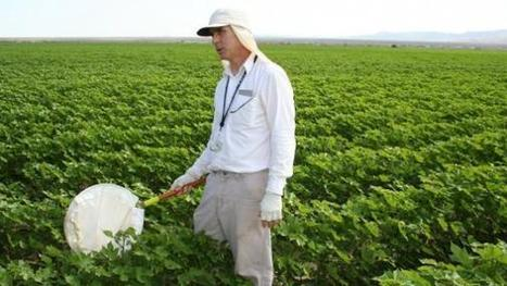 Accurate whitefly, natural enemy counts in Ariz. cotton | Western Farm Press | CALS in the News | Scoop.it