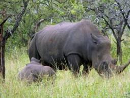 Rhino poaching: Ezemvolo calls for reinforcement | What's Happening to Africa's Rhino? | Scoop.it