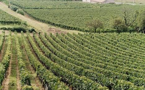 Grape expectations: #Wine in 2016 | Vitabella Wine Daily Gossip | Scoop.it